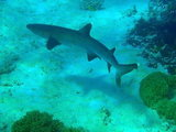 Nouvelle-Caledonie, requin pointe blanche