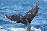 Nouvelle-Caledonie, baleine a bosse