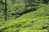 Inde - Asie - Kerala - plantations de the