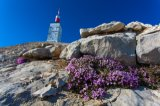 SAXIFRAGE A FEUILLES OPPOSEES mont Ventoux (F84)